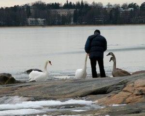 Все чаще лебеди остаются в Хельсинки на зиму